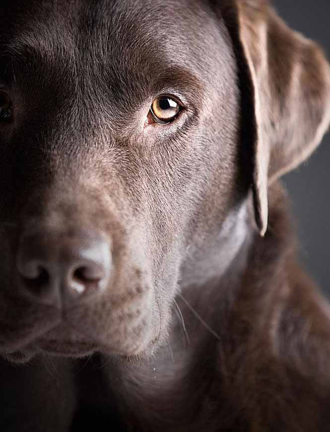 Beautiful Chocolate Labrador Retriever Dog
